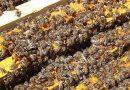 Agricultor morre após ser atacado por abelhas em Ronda Alta